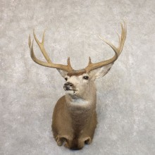 Mule Deer Shoulder Mount For Sale #22193 @ The Taxidermy Store