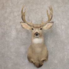Mule Deer Shoulder Mount For Sale #22194 @ The Taxidermy Store