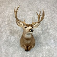 Mule Deer Shoulder Mount For Sale #22796 @ The Taxidermy Store