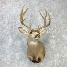 Mule Deer Shoulder Mount For Sale #23086 @ The Taxidermy Store