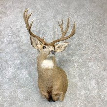 Mule Deer Shoulder Mount For Sale #23089 @ The Taxidermy Store