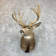 Mule Deer Shoulder Mount For Sale #23528 @ The Taxidermy Store