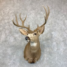 Mule Deer Shoulder Mount For Sale #23617 @ The Taxidermy Store