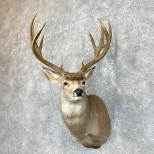 Mule Deer Shoulder Mount For Sale #23856 @ The Taxidermy Store