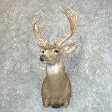 Mule Deer Shoulder Mount For Sale #24514 @ The Taxidermy Store