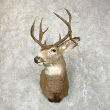 Mule Deer Taxidermy Shoulder Mount For Sale