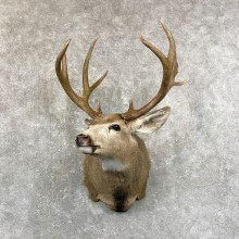 Mule Deer Shoulder Mount For Sale #24667 @ The Taxidermy Store