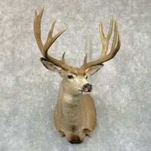 Mule Deer Shoulder Mount For Sale #24939 @ The Taxidermy Store