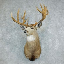 Mule Deer Shoulder Taxidermy Head Mount For Sale #18508 @ The Taxidermy Store