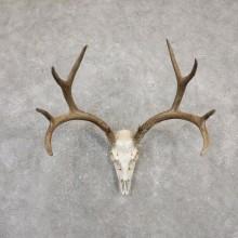 Mule Deer Skull Antler European Mount For Sale #20027 @ The Taxidermy Store