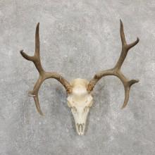 Mule Deer Skull European Mount For Sale #20029 @ The Taxidermy Store