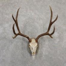 Mule Deer Skull European Mount For Sale #20063 @ The Taxidermy Store