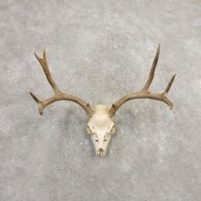 Mule Deer Skull European Mount For Sale #20370 @ The Taxidermy Store