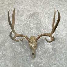 Mule Deer Skull European Mount For Sale #24509 @ The Taxidermy Store