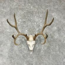 Mule Deer Skull European Taxidermy Mount For Sale