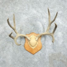Mule Deer Taxidermy European Antler Plaque #18379 For Sale @ The Taxidermy Store