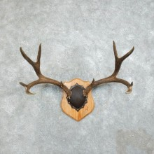 Mule Deer Taxidermy Antler Plaque #18380 For Sale @ The Taxidermy Store