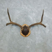 Mule Deer Taxidermy Antler Plaque #18418 For Sale @ The Taxidermy Store