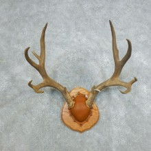 Mule Deer Taxidermy Antler Plaque #18421 For Sale @ The Taxidermy Store