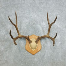 Mule Deer Taxidermy Antler Plaque #18422 For Sale @ The Taxidermy Store