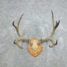 Mule Deer Taxidermy Antler Plaque #18423 For Sale @ The Taxidermy Store
