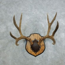 Mule Deer Taxidermy Antler Plaque #18438 For Sale @ The Taxidermy Store