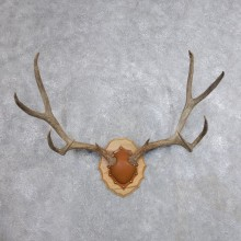 Mule Deer Taxidermy Antler Plaque #18709 For Sale @ The Taxidermy Store