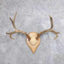 Mule Deer Taxidermy Antler Plaque #18711 For Sale @ The Taxidermy Store