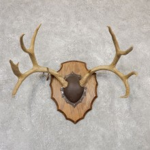 Mule Deer Taxidermy Antler Plaque #18965 For Sale @ The Taxidermy Store
