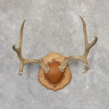 Mule Deer Taxidermy Antler Plaque #18999 For Sale @ The Taxidermy Store