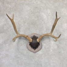 Mule Deer Taxidermy Antler Plaque #19001 For Sale @ The Taxidermy Store
