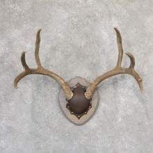 Mule Deer Taxidermy Antler Plaque #19003 For Sale @ The Taxidermy Store