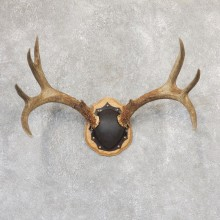 Mule Deer Taxidermy Antler Plaque #19004 For Sale @ The Taxidermy Store