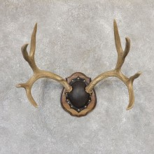 Mule Deer Taxidermy Antler Plaque #19021 For Sale @ The Taxidermy Store