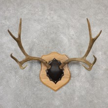 Mule Deer Taxidermy Antler Plaque #19112 For Sale @ The Taxidermy Store