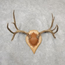 Mule Deer Taxidermy Antler Plaque #19118 For Sale @ The Taxidermy Store