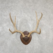 Mule Deer Taxidermy Antler Plaque #19135 For Sale @ The Taxidermy Store