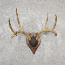 Mule Deer Taxidermy Antler Plaque #19136 For Sale @ The Taxidermy Store