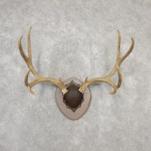 Mule Deer Taxidermy Antler Plaque #19140 For Sale @ The Taxidermy Store