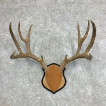 Mule Deer Taxidermy Antler Plaque #21869 For Sale @ The Taxidermy Store
