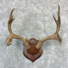 Mule Deer Taxidermy Antler Plaque #23189 For Sale @ The Taxidermy Store