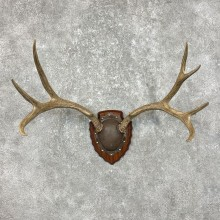 Mule Deer Taxidermy Antler Plaque #25331 For Sale @ The Taxidermy Store