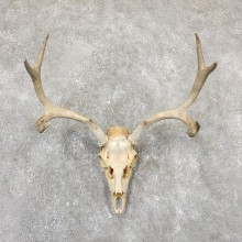 Mule Deer Taxidermy Antler Plaque Mount #19329 For Sale @ The Taxidermy Store