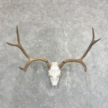 Mule Deer Taxidermy Antler Plaque Mount #24262 For Sale @ The Taxidermy Store