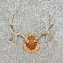 Mule Deer Taxidermy European Antler Plaque #17078 For Sale @ The Taxidermy Store