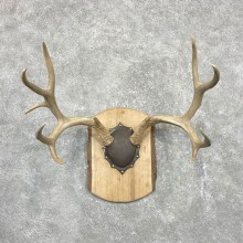 Mule Deer Taxidermy European Antler Plaque #24553 For Sale @ The Taxidermy Store