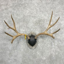 Mule Deer Taxidermy European Antler Plaque #24554 For Sale @ The Taxidermy Store