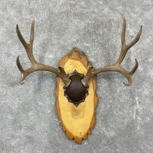 Mule Deer Taxidermy European Antler Plaque #24556 For Sale @ The Taxidermy Store