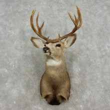 Mule Deer Shoulder Mount For Sale #17347 @ The Taxidermy Store