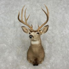 Mule Deer Shoulder Taxidermy Mount For Sale #17350 @ The Taxidermy Store